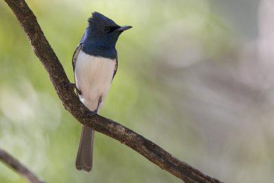 Leaden Flycatcher - Male (Myiagra rubecula concinna) - Katherine, NT
