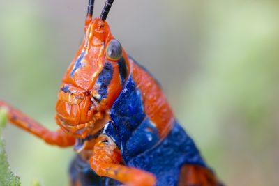Leichhardt's Grasshopper (CLose up)