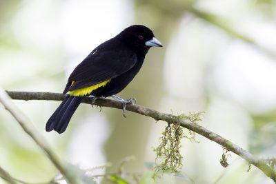 Lemon-rumped Tanager (Male) - Tandayapa Lodge, Ecuador