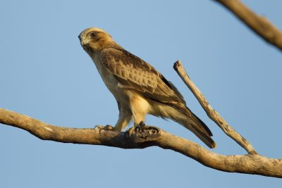 Little Eagle (Hieraaetus morphnoides morphnoides) - Marrakai Road, NT (2)