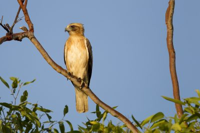 Little Eagle (Hieraaetus morphnoides morphnoides) - Marrakai Road, NT