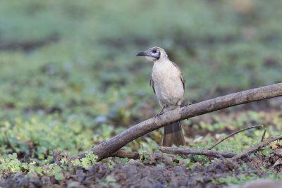 Little Frairbird (Philemon citreogularis sordidus) - Buntine Highway, NT