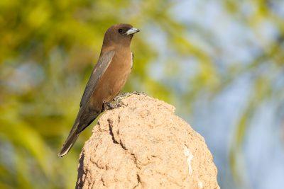 Little Woodswallow (Artamus minor derbyi) - Darwin, NT (2)
