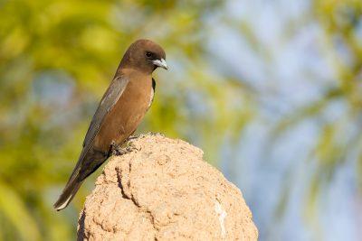 Little Woodswallow (Artamus minor derbyi) - Darwin, NT