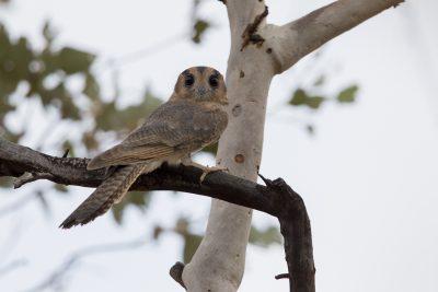 Mainland Australian Owlet-nightjar (Rufous Morph - Aegotheles cristatus cristatus)