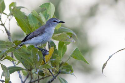 Mangrove Gerygone (Gerygone levigaster levigaster) - East Point, NT