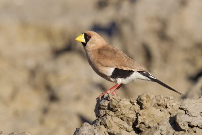 Masked Finch (Poephila personata personata) - Buntine Highway, NT (2)