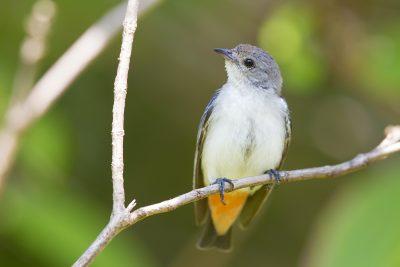 Mistletoebird - Female (Dicaeum hirundinaceum hirundinaceum) - Darwin, NT