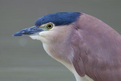 Nankeen Night-heron - Adult (Nycticorax caledonicus hilli) - Arnhemland, NT