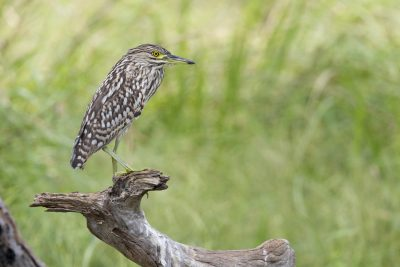 Nankeen Night-heron - Juvenile (Nycticorax caledonicus hilli) - Arnhemland, NT