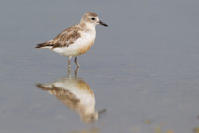New Zealand Dotteral  - Waipu, New Zealand