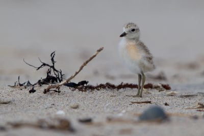 New Zealand Dotteral (Baby) - Northland, New Zealand