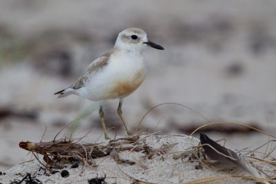 New Zealand Dotteral (Male) - Northland, New Zealand