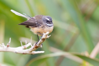New Zealand Fantail  - Titititi Matungi Island, NZ