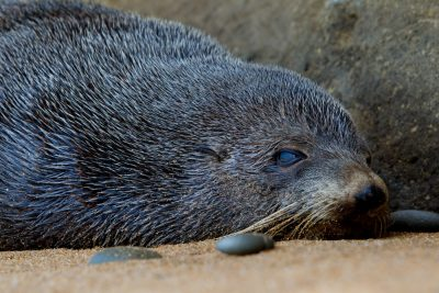 New Zealand Fur Seal - South Island, New Zealand