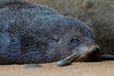 New Zealand Fur Seal - South Island, New Zealand
