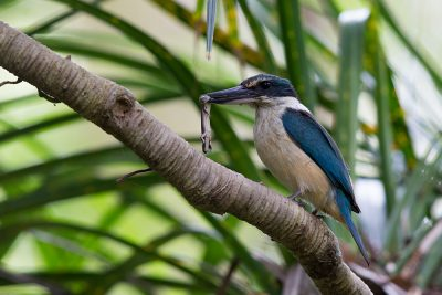 New Zealand Kingfisher  - Titititi Matungi Island, NZ