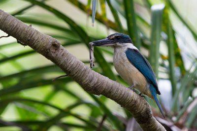New Zealand Kingfisher  - Titititi Matungi Island, NZ
