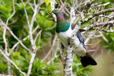 New Zealand Wood Pigeon Profile - Zealandia, Wellington