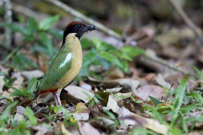 Noisy Pitta (Pitta versicolor intermedia) - Kingfisher Lodge, QLD
