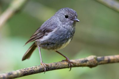 North Island Robin - Zealandia, Wellington
