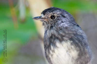 North Island Robin (Profile)   - Titititi Matungi Island, NZ