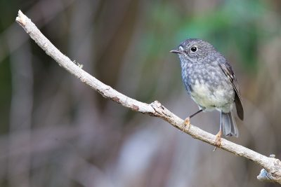 North Island Robin  - Titititi Matungi Island, NZ