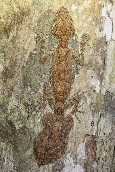 Northern Leaf-Tailed Gecko - Cairns