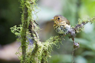 Ochre-breasted Antpitta - Paz De Aves (Ant Hill Pass), Ecuador.