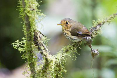 Ochre-breasted Antpitta - Paz De Aves (Ant Hill Pass), Ecuador