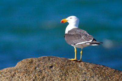Pacific Gull (Larus pacificus pacificus) - Tasmania