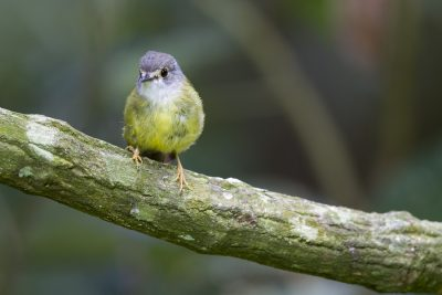 Pale-yellow Robin (Tregellasia capito nana) - Kingfisher Lodge, QLD