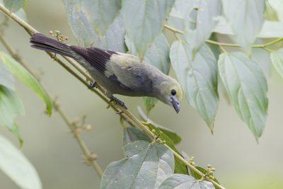 Palm Tanager - Rio Salanche Reserve, Ecuador.