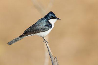 Paperbark Flycatcher (Myiagra inquieta nana) - Edith Falls, NT