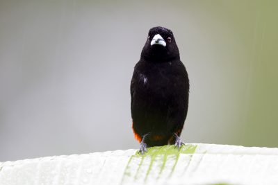 Passerini's Tanager (Crimson-rumped Tanager)7446