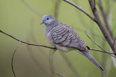 Peaceful Dove (Geopelia striata placida) - Darwin, NT