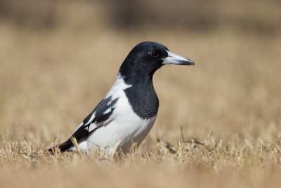 Pied Butcherbird - Close up (Cracticus nigrogularis picatus) - Katherine, NT