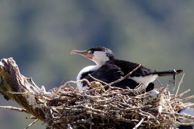 Pied Cormorant on nest - South Island, New Zealand