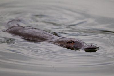 Platypus1