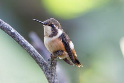 Purple-throated Woodstar (Female perched) - Bellavista, Upper Tandayapa Valley, Ecuador