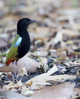 GUIDE TO FINDING BIRDS AROUND DARWIN
