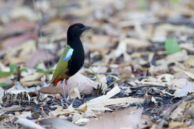 Rainbow Pitta (Pitta iris iris) - Casuarina Coastal Reserve, NT