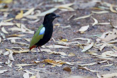 Rainbow Pitta (Pitta iris iris) - Howard Springs Reserve, NT (5)