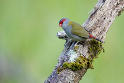 Red-Browed Finch (Neochmia temporalis temporalis) - Mount Lewis, QLD