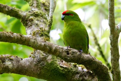 Red-crowned Parakeet - Zealandia, Wellington
