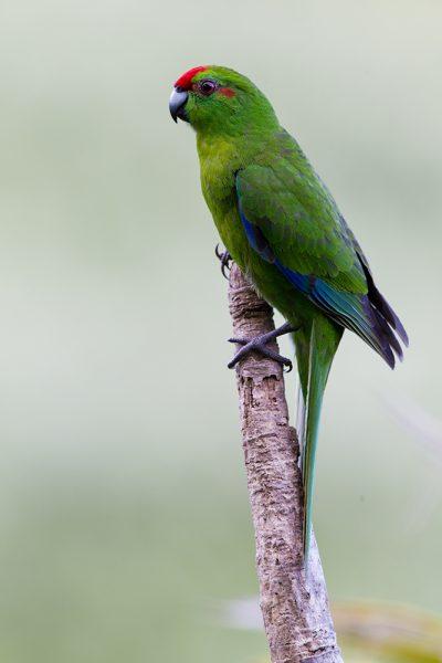 Red-crowned Parakeet  - Titititi Matungi Island, NZ