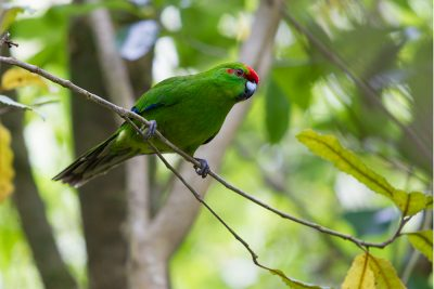 Red-crowned Parakeet  - Titititi Matungi Island, NZ