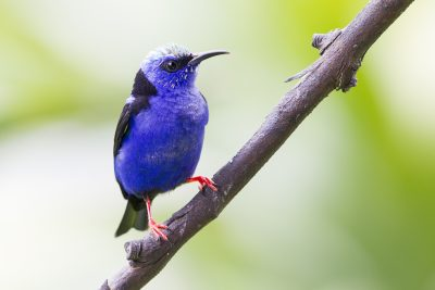 Red-legged Honeycreeper (Young Male)