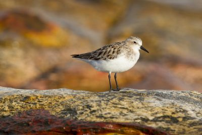 Red-necked Stint (Calidris ruficollis) - Nightcliff, NT