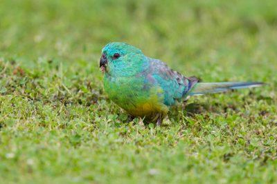 Red-rumped Parrot (Psephotus haematonotus haematonotus) - Tasmania (2)